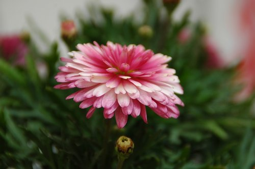 chrysanthemum  chrysanthemum pink  chrysanthemum composed