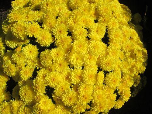 chrysanthemum garden flower