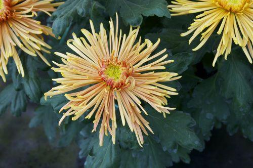 chrysanthemum flower bloom