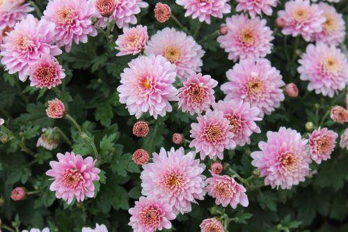 chrysanthemum flowers chrysanthemum x morifolium