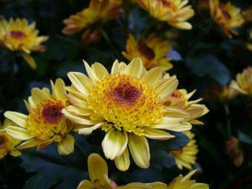 chrysanthemum mum morifolium