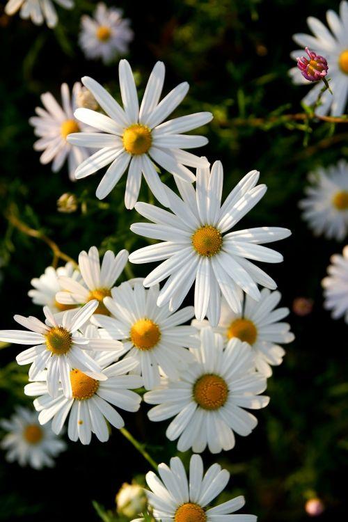 chrizantema,gėlės,žiedas,augalai,gamta,ruduo,wildflower,asteraceae,baltos gėlės,balta gėlė
