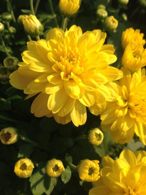 chrysanthemum chrysanthemum festival flowers