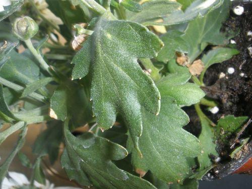chrysanthemum green foliage chrysanthemum grandifloraum