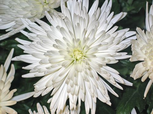 chrysanthemums asters flower