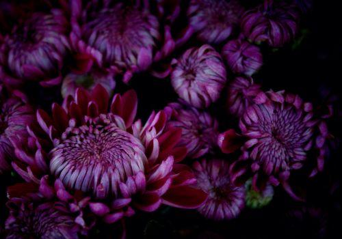 chrysanthemums violet november
