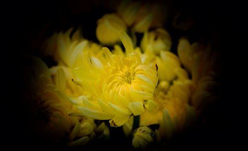 chrysanthemums yellow november