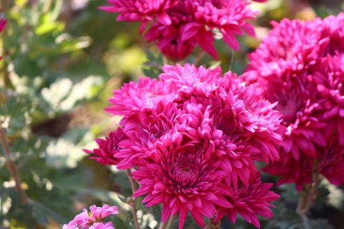 chrysanthemums flower mums