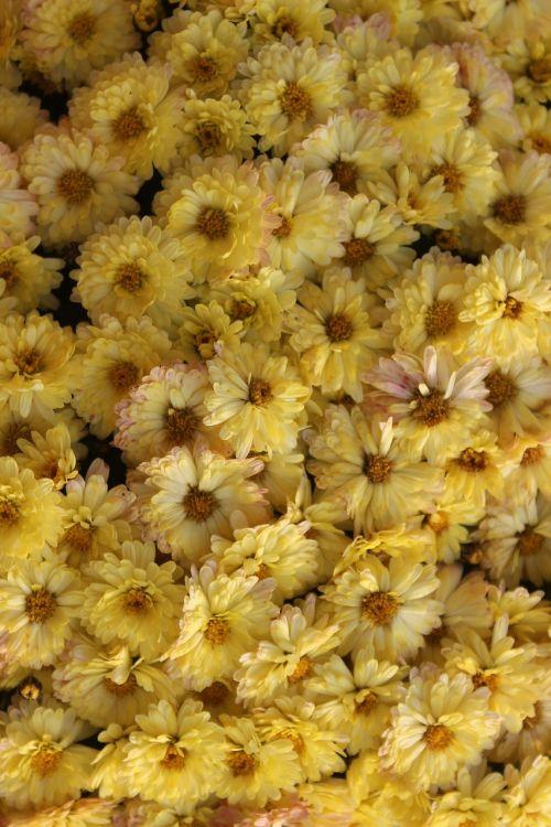 chrysanthemums yellow flowers flower