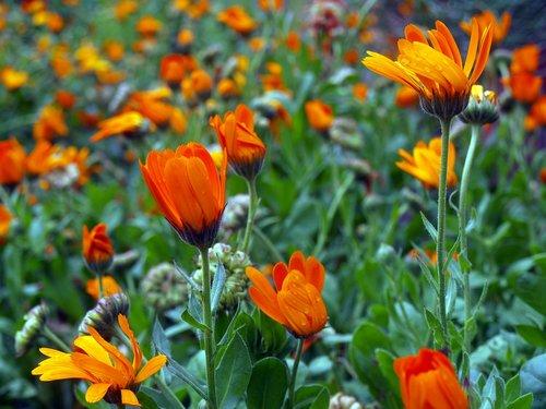 chrysanthemums  wild flowers  flowery field