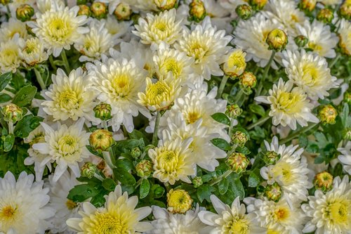 chrysanthemums  chrysanthemum  bloom