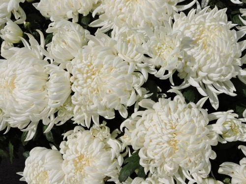 chrysanthemums flower white