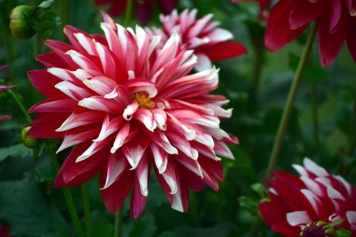 Chrysanthemums 6