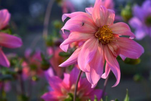 Chrysanthemums 9
