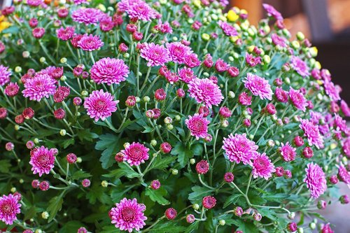 chrysanthemums bush  chrysanthemum  autumn flower