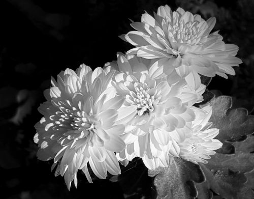 Chrysanthemums In Black And White