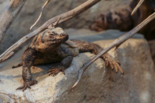 chuckwalla sauromalus ater reptile