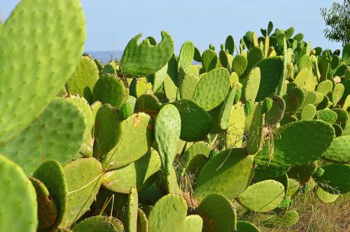chumberas prickly pear cactus