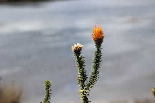 chuquiragua nature national