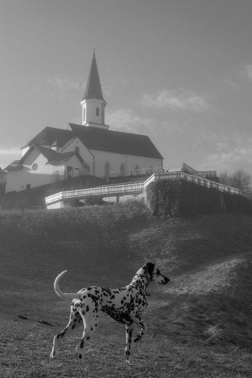 church dog dalmatians