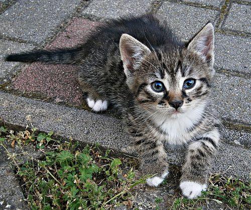 cic-mic kitten small