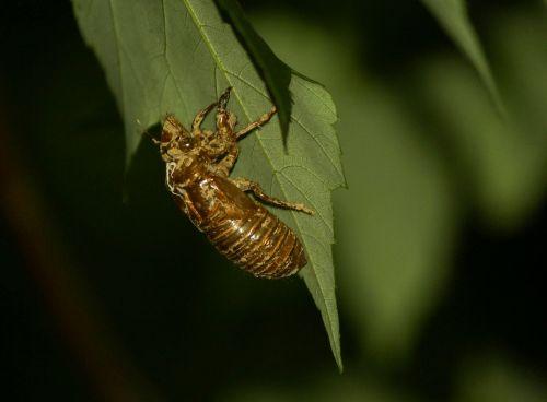 cicada cicadoidea insect