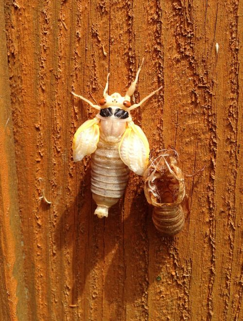 cicada molted shell