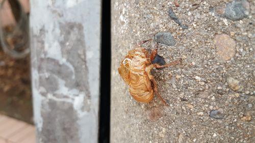 cicada variations peel