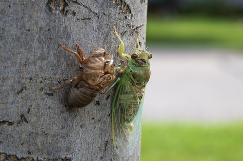 cicada  insect  bug