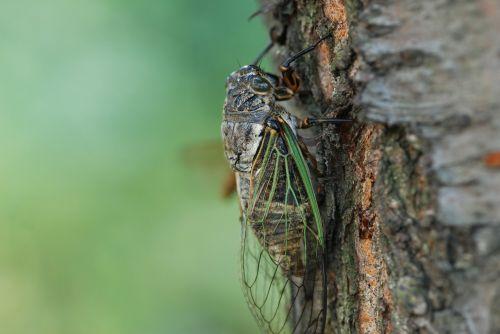 cicada summer one animal