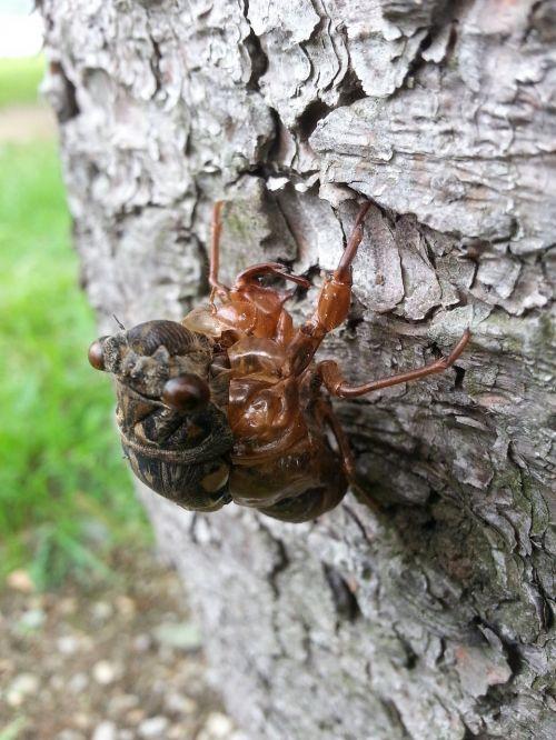 cicada nature ecdysis
