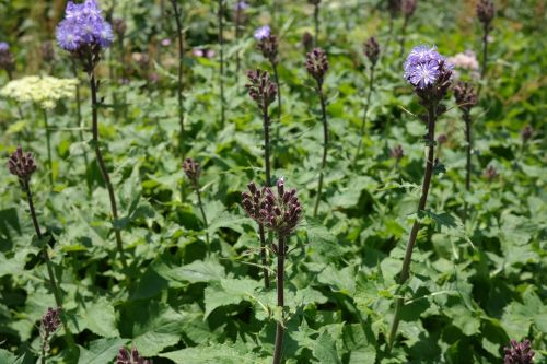 cicerbita alpina flower blossom