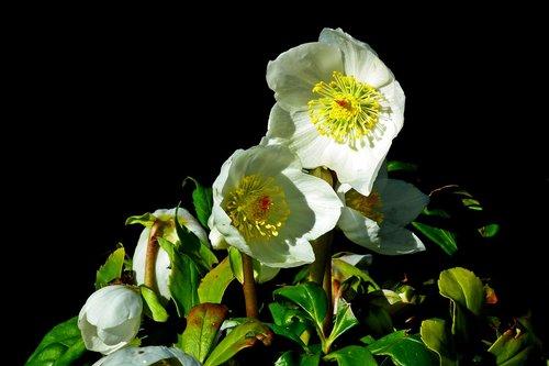 ciemierniki  flowers  white