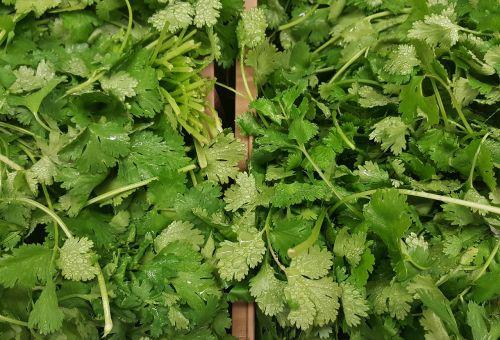 cilantro coriander herbs