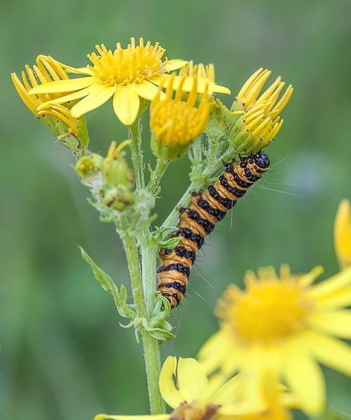 cinnabar-moth  caterpillar  larva