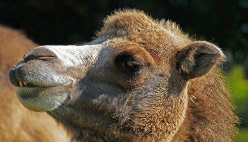 circus  animals  camel