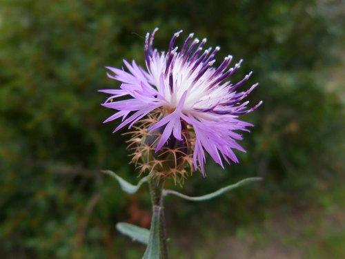 cirsium arvense  thistle  canada thistle