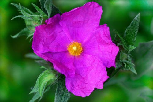 cistus perennial shrub