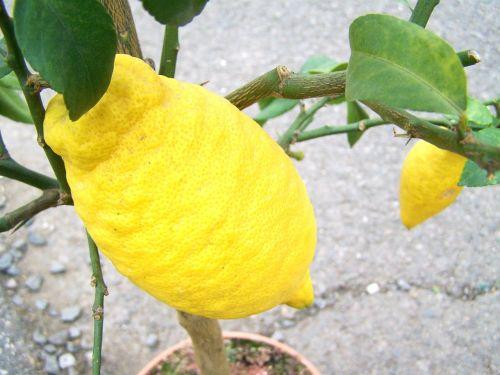Citronas, citrina, vaisių