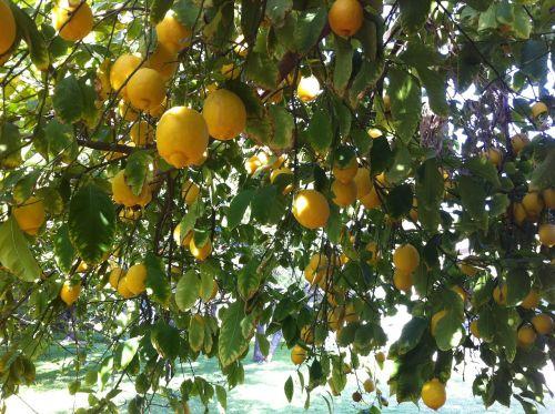 citrus lemons organic
