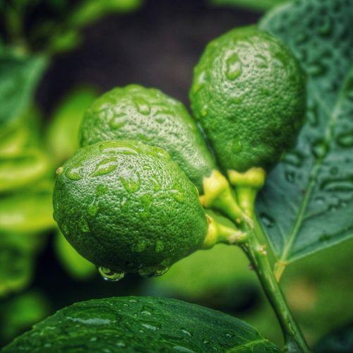 citrus fruit young