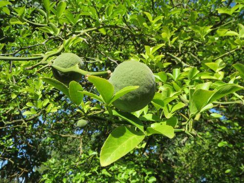 citrus trifoliata trifoliate orange poncirus trifoliata