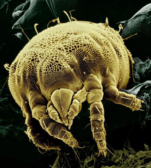citrus yellow mite macro electron microscope