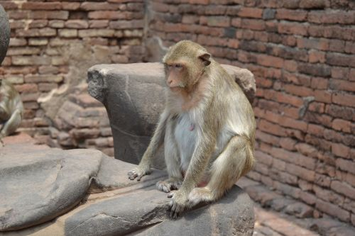 city of monkeys thailand lopburi