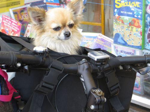 Chihuahua Cyclist