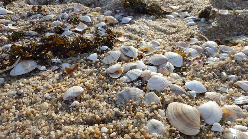 clam sea sand