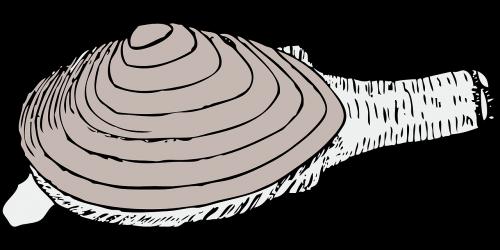 clam living shell