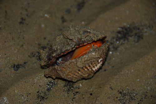 clam shell beach