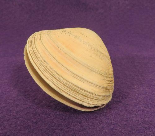 clam shell mollusk