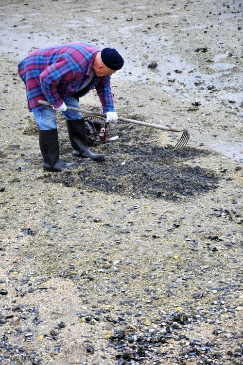 clam digger clams beach